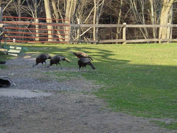 Wild Turkeys Gleaning Grain from the Horses
